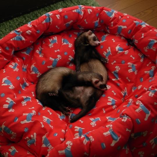 Cath Kidston(キャス・キッドソン)ドッグベッドで眠るブラン&モンちゃん