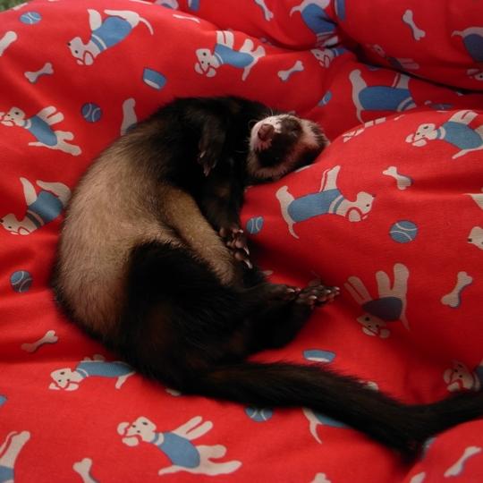 Cath Kidston(キャス・キッドソン)ドッグベッドで眠るブラン